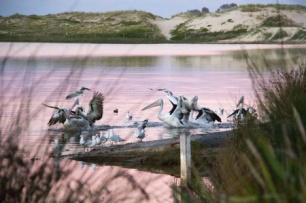 Squabble between pelicans and seagulls