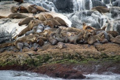 Seals on Montague Island
