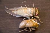 Cicada Birth - 9