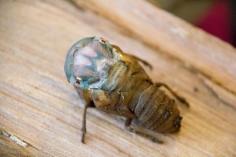 Cicada Birth 1