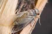 Cicada Birth - 7