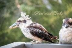 Mum and Baby Kookaburra