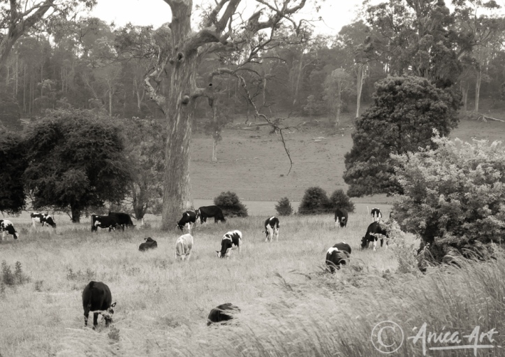 Grazing cows - sepia