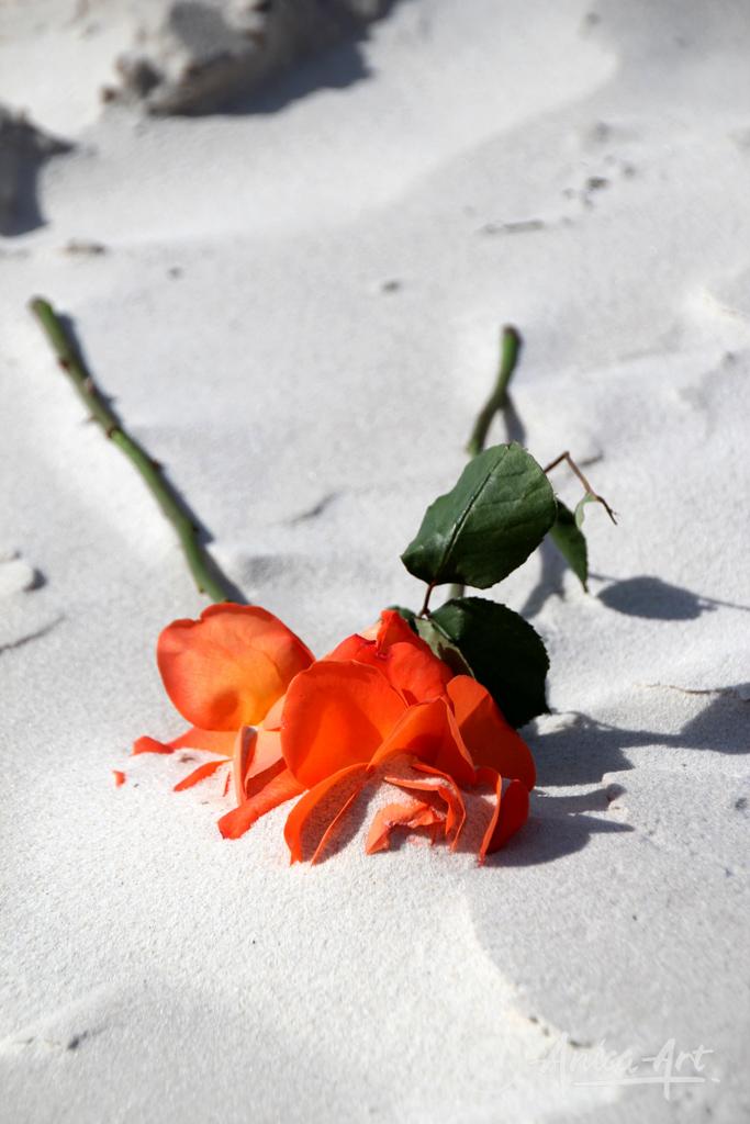 Fresh roses on sand