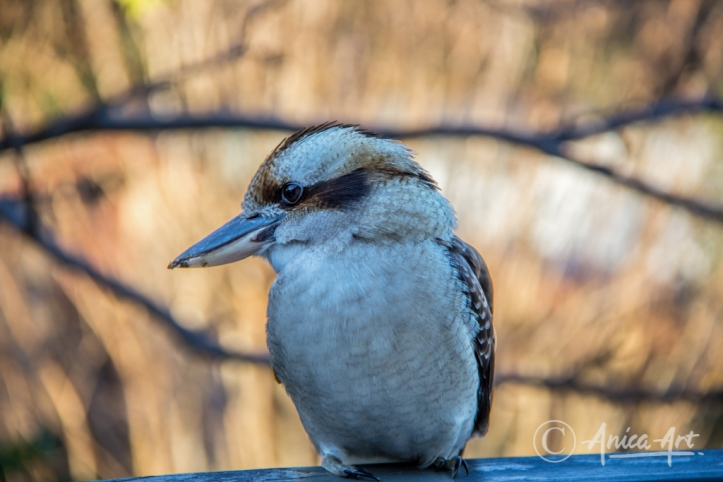 kookaburra_4278