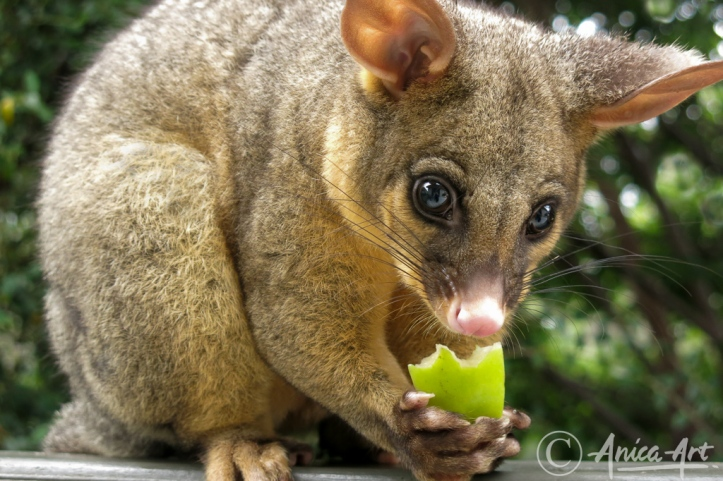 Brushtail possum eating apple