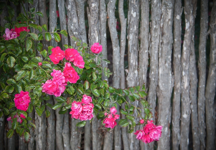 Roses on rustic fence