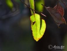 Sunlit gum leaf