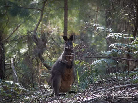 Bush-wallaby-at-South-Durras