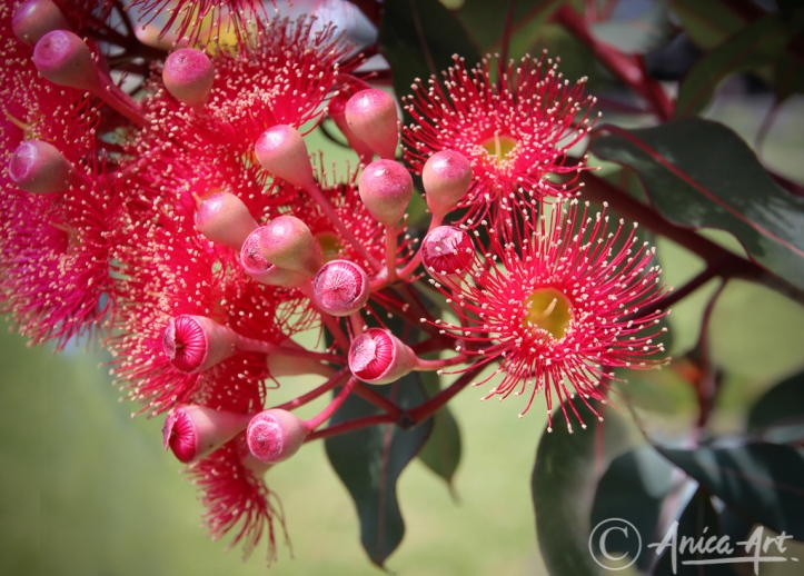 Red Gum Flowers