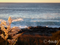 Sunlit tall grass on Bannisters Headland with rocks and ocean in background