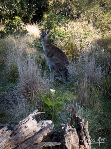 Kangaroo in lilly patch at Bendalong