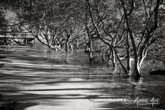Mangroves at Narrawallee Inlet in black and white