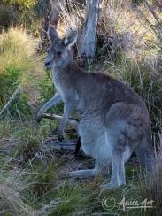 Kangaroo Joey - head in first