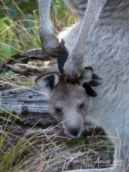 Legs, tail and head out of Mother Kangaroo's pouch