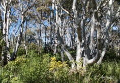 Beautiful Gum Trees around Willinga Point Reserve - Bawley Point