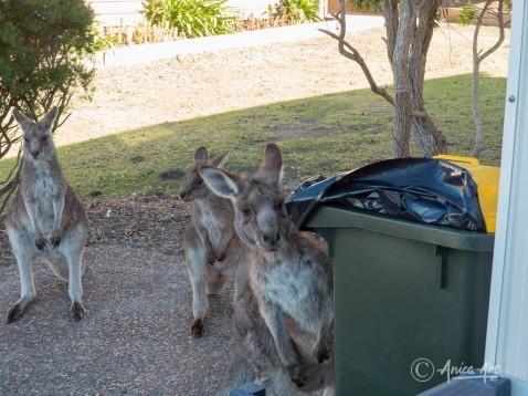 Kangaroos into the bin-1