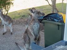 Kangaroos into the bin-2