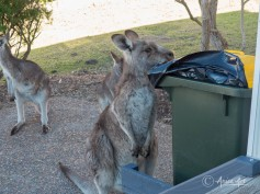 Kangaroos into the bin-2