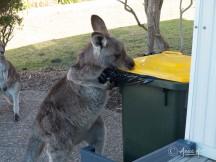 Kangaroos into the bin-3