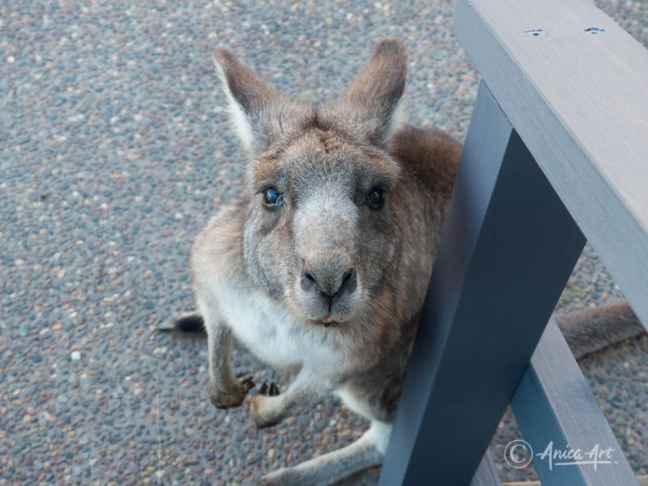 Kangaroos into the bin-4