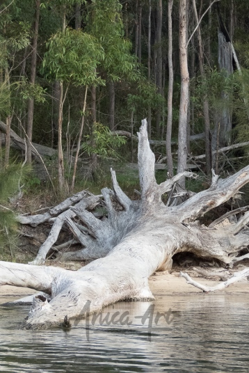 Lake Conjola - large dead tree