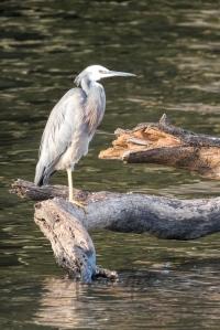 Lake Conjola Egret