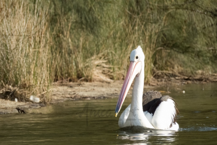 Cruising pelican