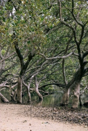 Mangroves at Narrawallee Inlet