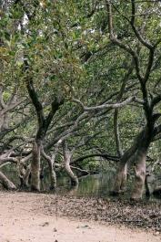 Mangroves at Narrawallee Inlet