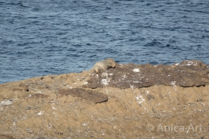 Australian Fur Seal Ulladulla