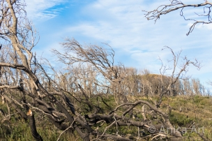 Windswept trees Warden Head Ulladulla
