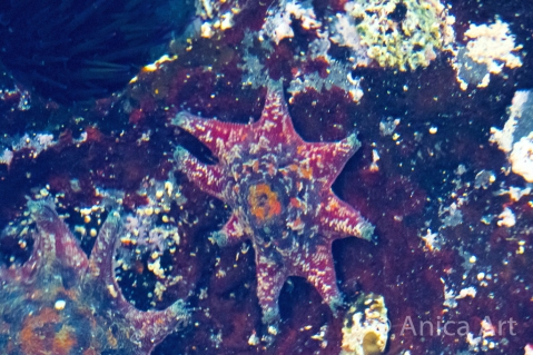 crimson-starfish-mollymook