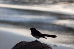 willie-wagtail-mollymook-beach