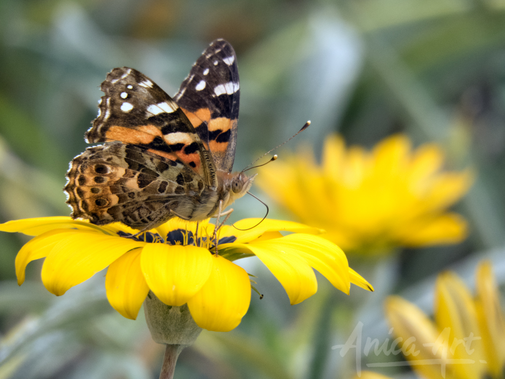 kershaws-painted-lady-7394