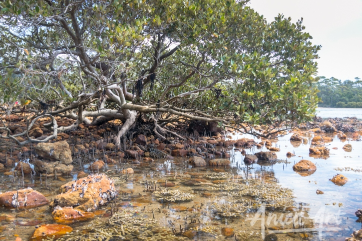 mangrove-at-inlet_5690