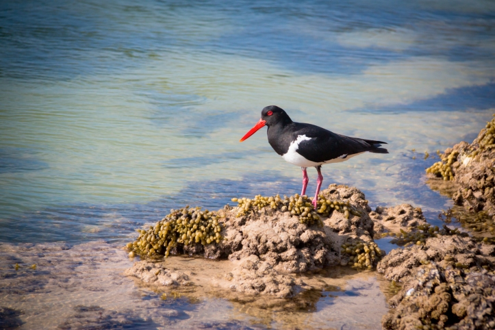 pied-oystercatcher-narrawallee-inlet-5616