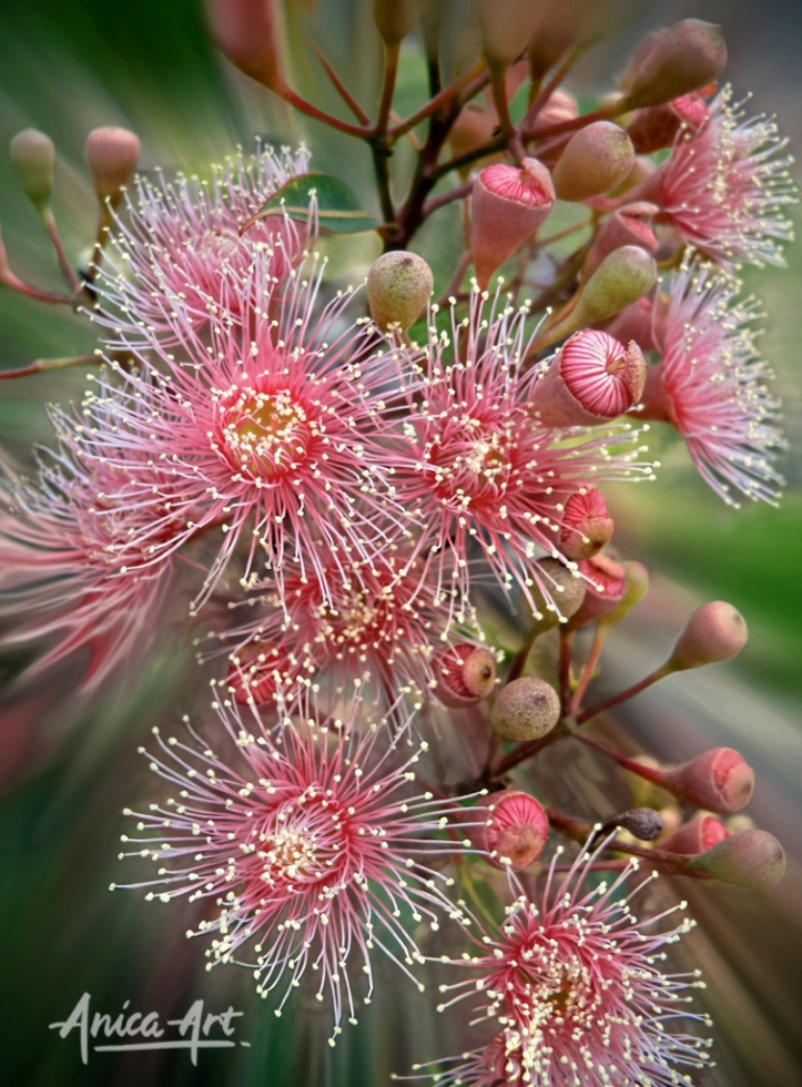 Pink Gum Flowers