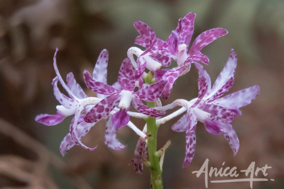 Slender hyacinth orchid