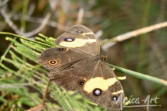 Swordgrass brown butterfly
