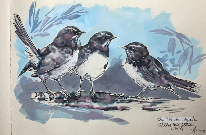 Willie Wagtails-sketch