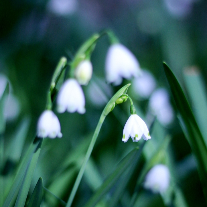 Snow drops-fb