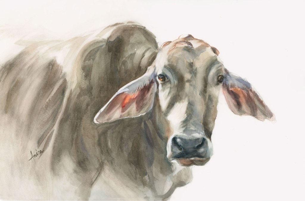 Watercolor painting of Brahman cow